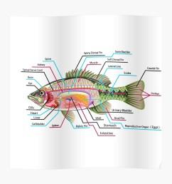 fish organs labeled open bass poster [ 1000 x 1000 Pixel ]