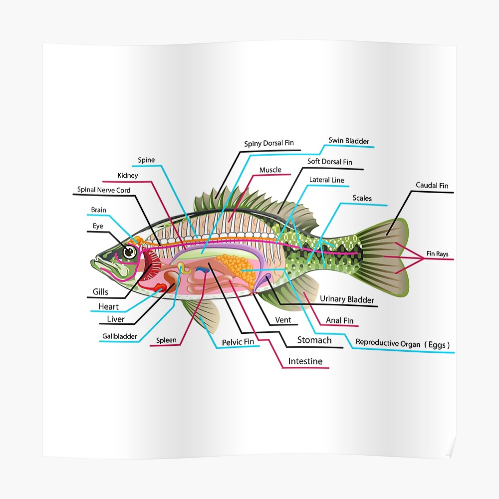 hight resolution of fish organs labeled open bass poster