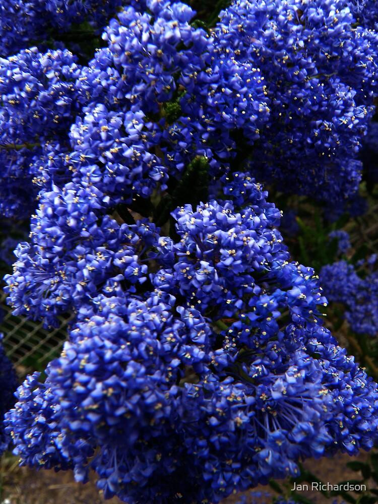 Ceanothus Blue Pacific by Jan Richardson  Redbubble