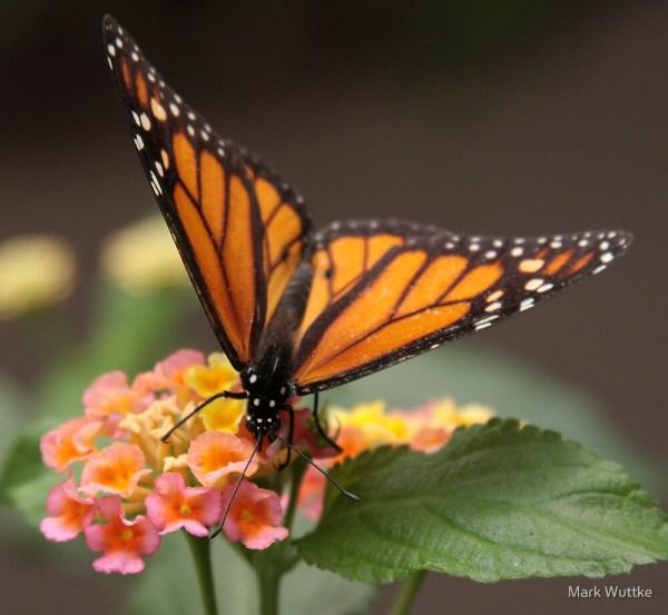 """""""monarch"""" Mark Wuttke Redbubble"""