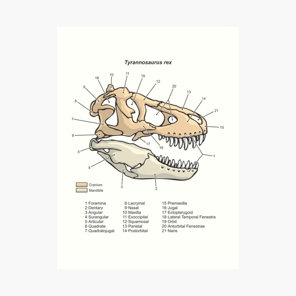 medium resolution of  tyrannosaurus rex skull diagram art print by taylorcustom redbubble