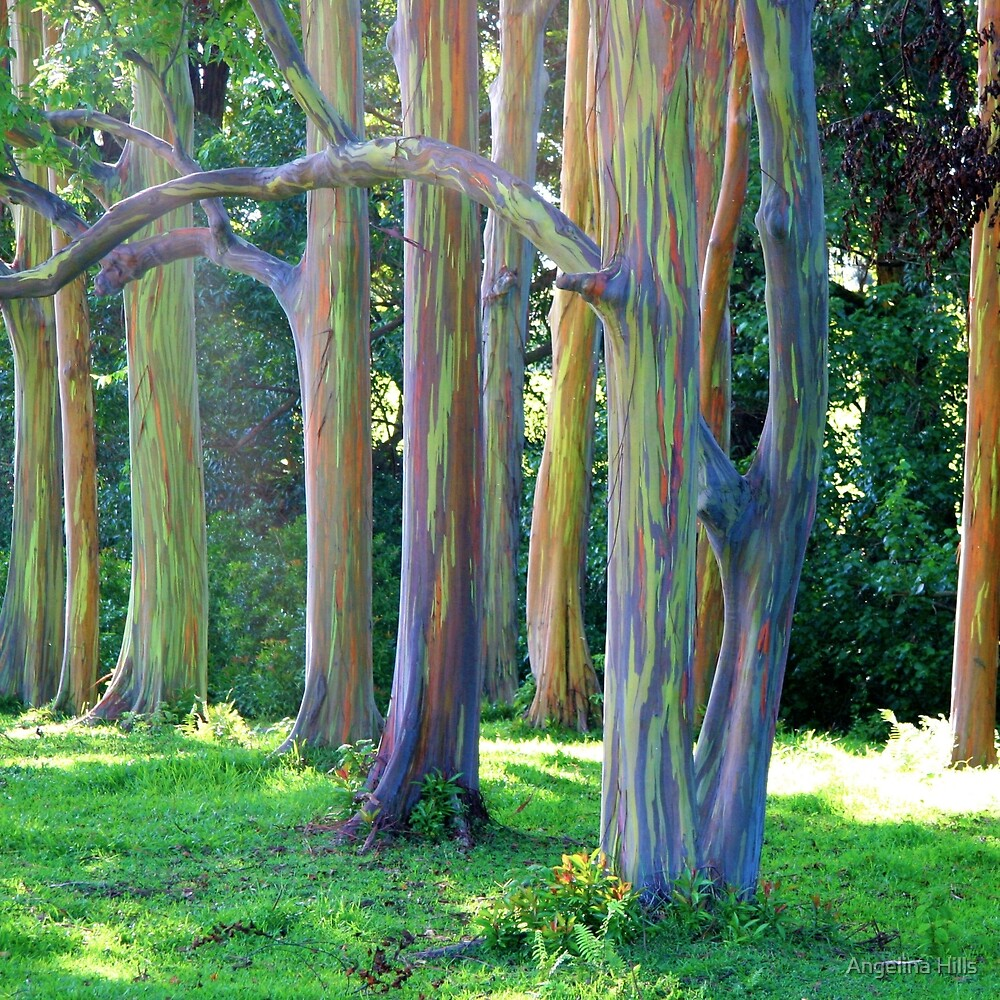 Rainbow Trees of Maui by Angelina Hills  Redbubble
