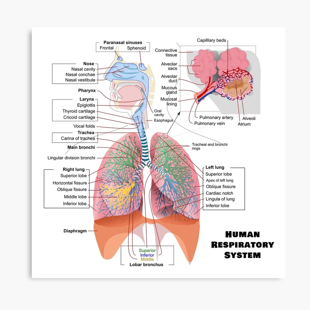 medium resolution of  human respiratory system diagram canvas print by allhistory redbubble