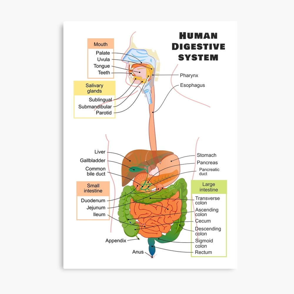 hight resolution of diagram of the human digestive system metal print
