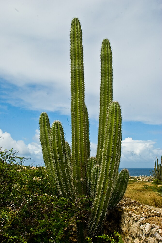 Aruba Cactus by barkeypf  Redbubble