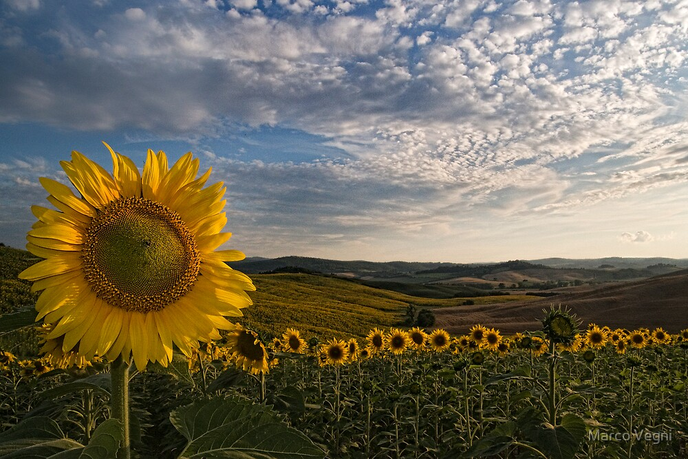 Tuscany sunflowers by Marco Vegni  Redbubble
