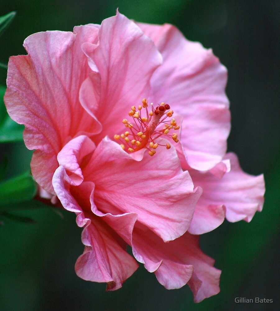 Pink Double Hibiscus Flower  by Gillian Bates  Redbubble