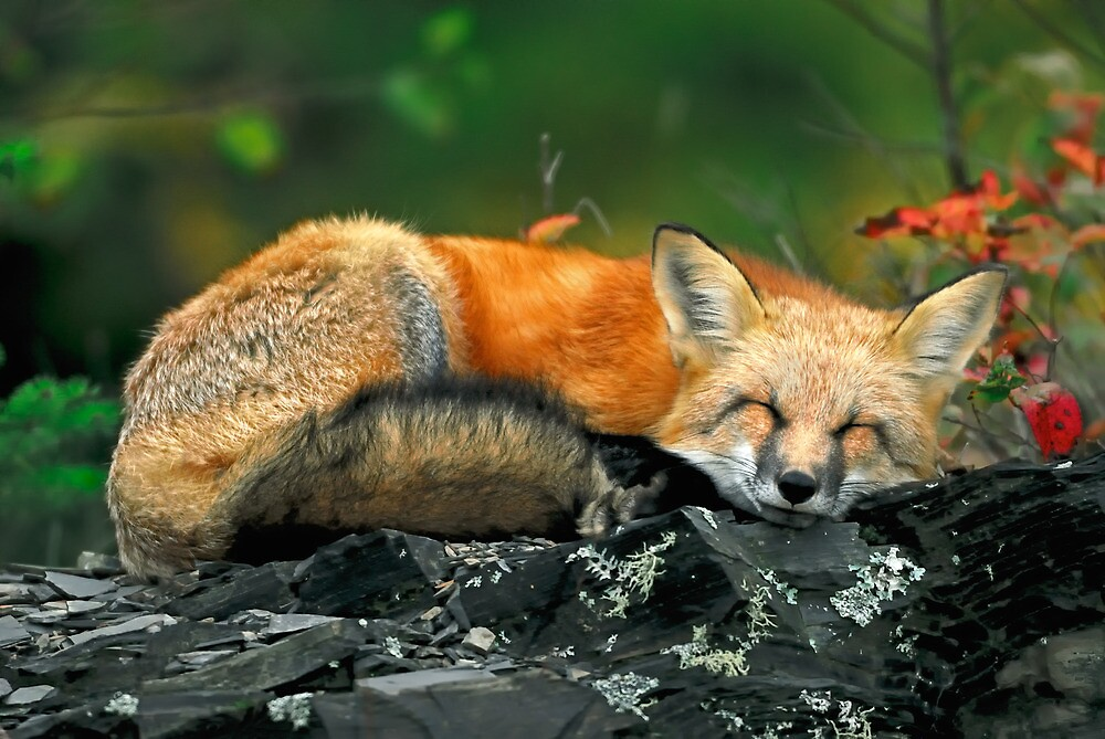 Red Fox Sleeping by Nathan Lovas Photography  Redbubble
