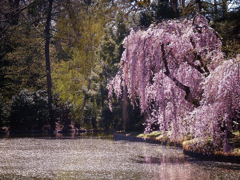 Cherry Blossoms On Trees Next to a Pond by Vivienne