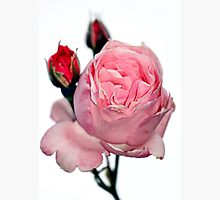 Oakbank Rose Photographic Print by Stephen Mitchell