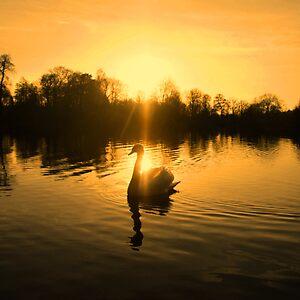 Lake of golden light - swan silhouette by Penny V P