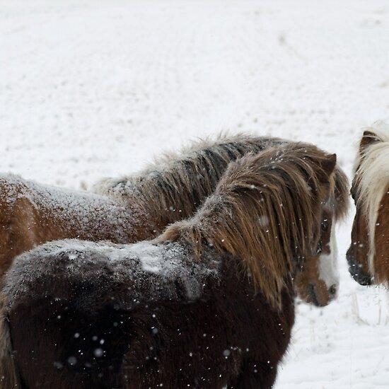 Miniature horses huddle in Montana