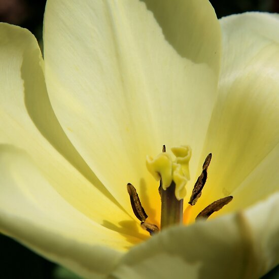 soft yellow tulip  by TerrillWelch