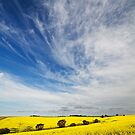 Canola Fields by KathyT