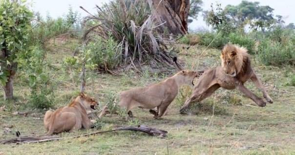 львица защитила обезьянку