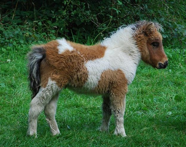pony-591969_640
