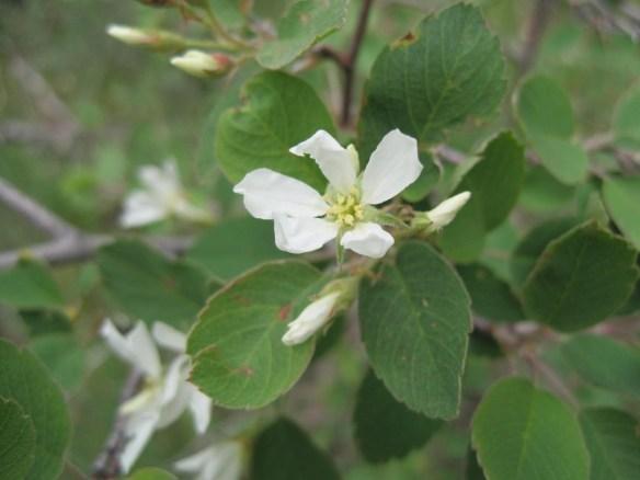 Amelanchier_alnifolia2