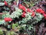Cladonia belldiflora