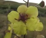 Verbascum blattaria
