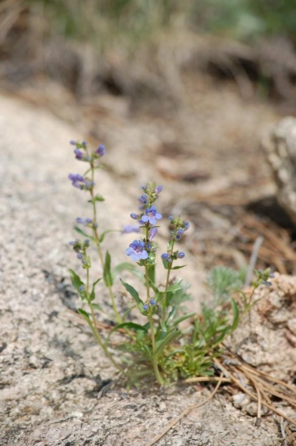 Mertensia_lanceolata (12)