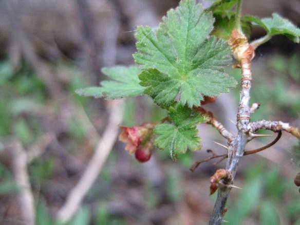 Ribes_montigenum (2)