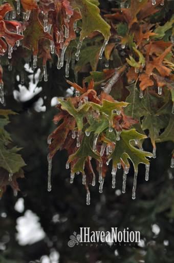 iced over oak leaves