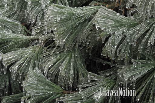 iced pine needles