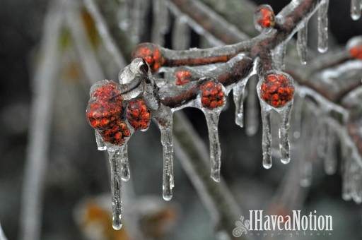 ice on a silver maple bud