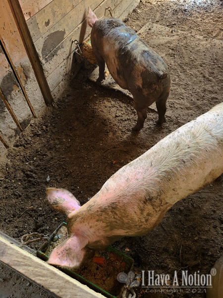 This years pigs