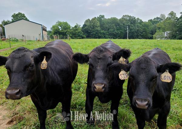 The 'Cow Boys'