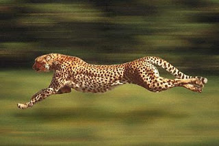 Cheetah_run