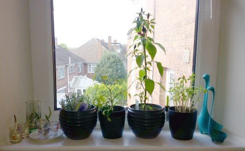 My herb menagerie in the kitchen with its Nessie caretakers