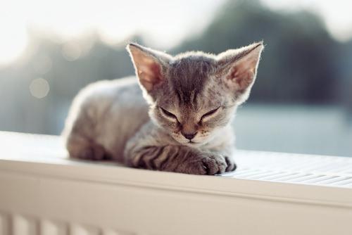 Cute Sleeping Kitten Wallpaper The 5 Smallest Cat Breeds In Existence Iheartcats Com