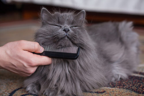 7 Grooming Tips For Longhaired Cats  iHeartCatscom