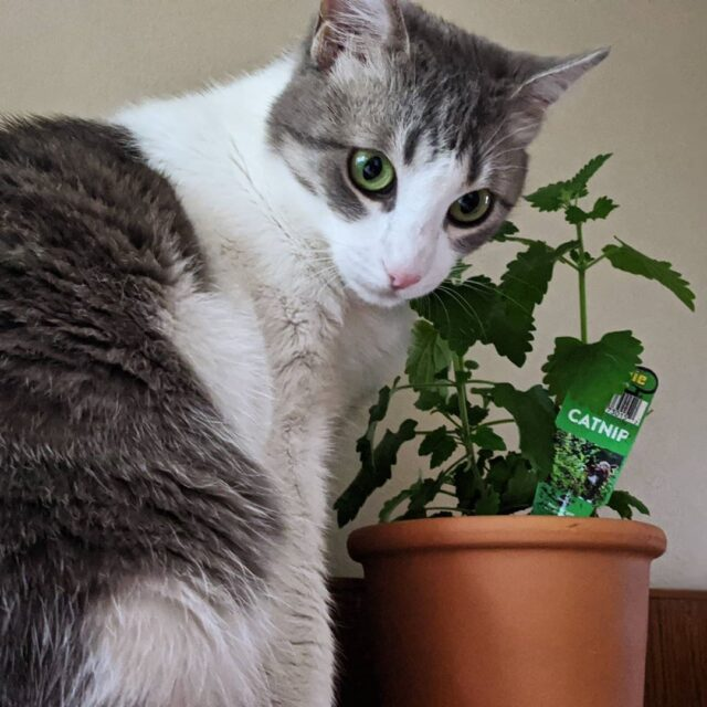 cat with catnip plant