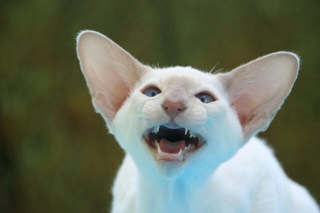 orejas de gato