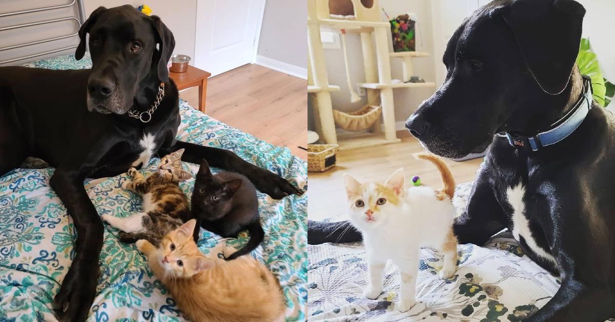 Un gran danés gigante demuestra ser el mejor padre adoptivo de gatitos de todos los tiempos