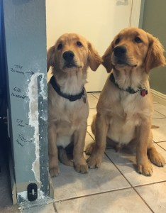 Male Golden Retriever Growth Chart Www Homeschoolingforfree Org
