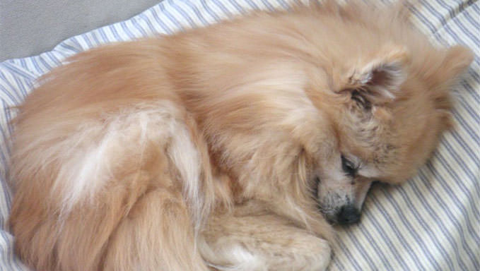10 Natural Ways To Relieve Your Pomeranians Joint Pain