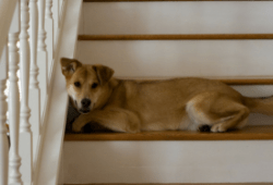 four Causes Canine Are Afraid Of Stairs And How To Assist Them With Their Worry