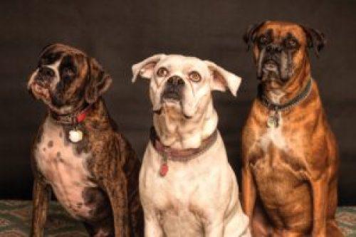 three dog head tilt