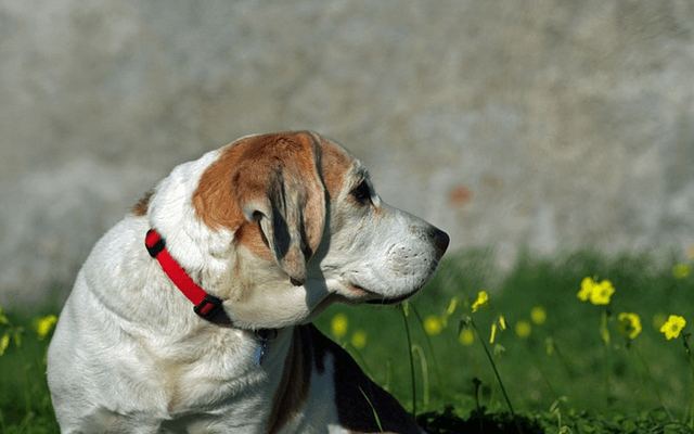 pain relief for dogs
