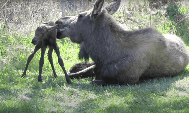 Baby Moose Stands