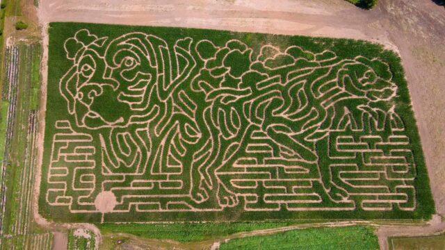 Dog corn maze
