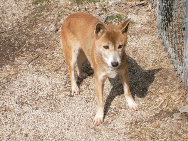 Young New Guinea Singing Dog
