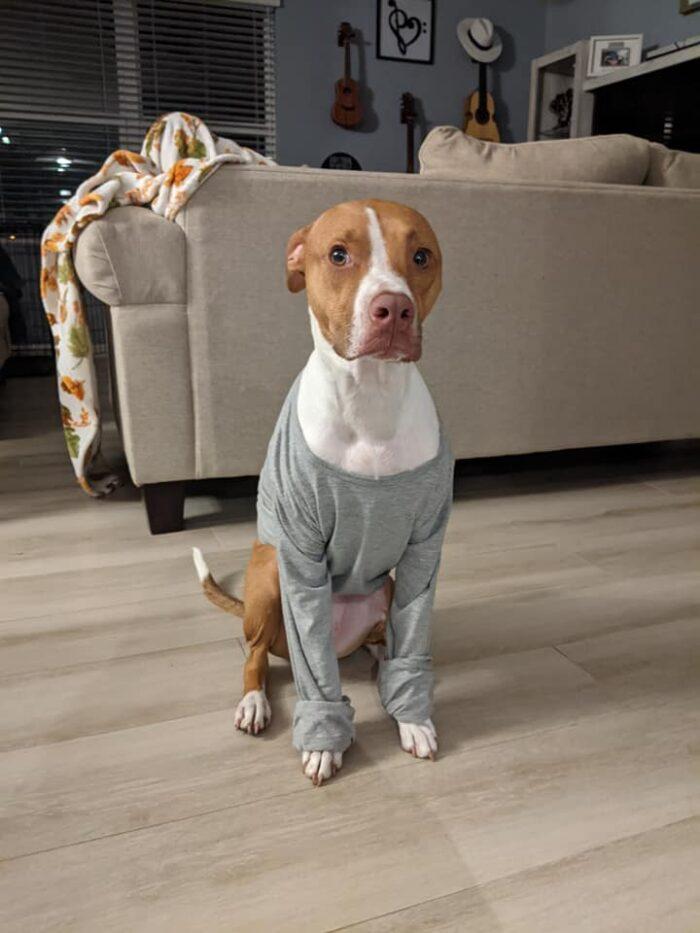 Dog wearing shirt