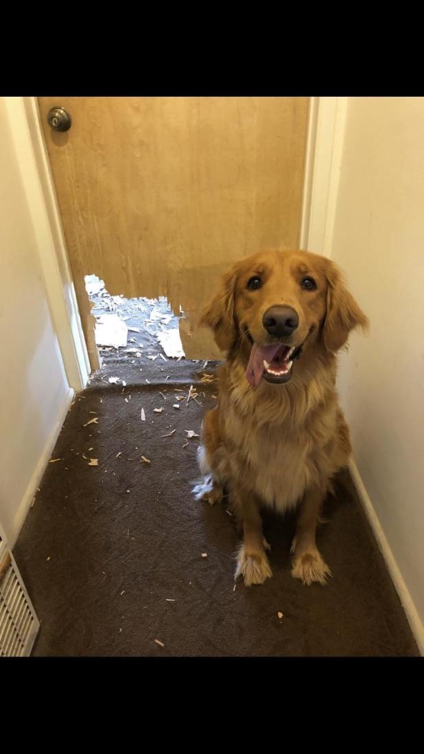 funny-dog-destroys-door