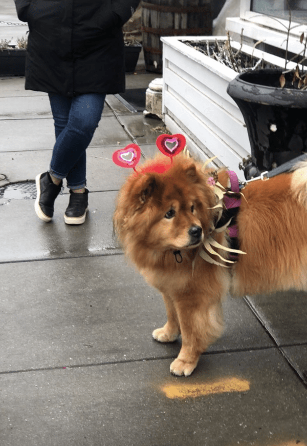 Chow Chow Delivering Flowers