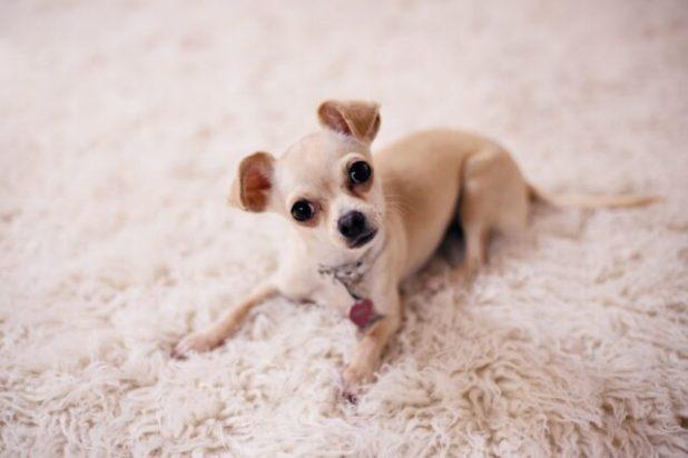 Senior Chihuahua joint pain
