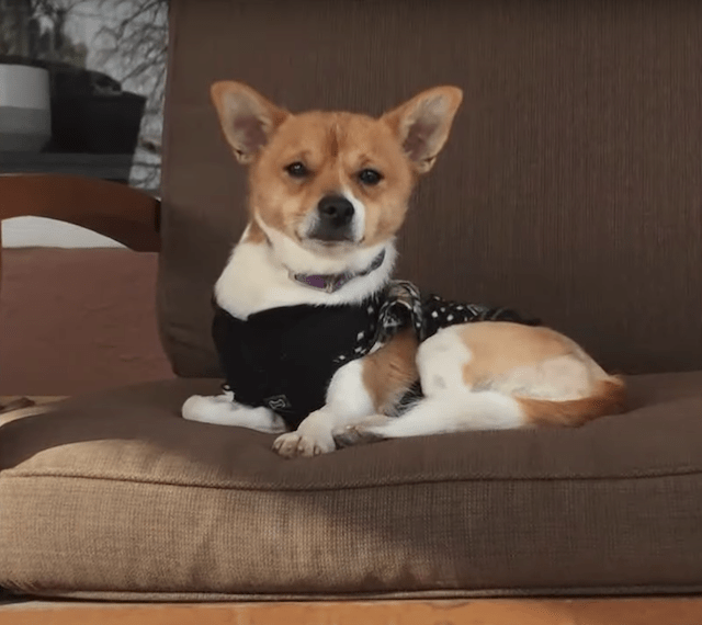 Three-legged Chihuahua on couch